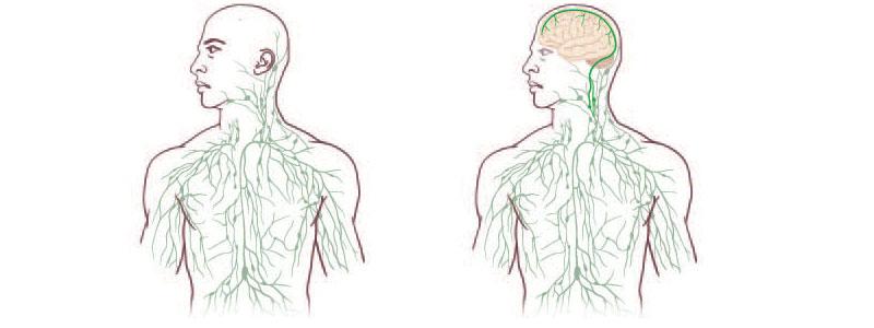 Descubren que sí existe una conexión entre el cerebro y el sistema ...