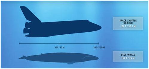 Ballena azul vs Lanzadera Espacial © National Geographic / Kingdom of Blue Whale