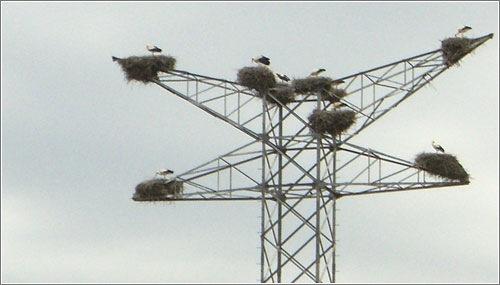 Cigüeñas en torre eléctrica