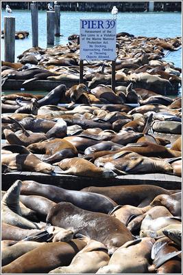 Pier39 Sea Lions