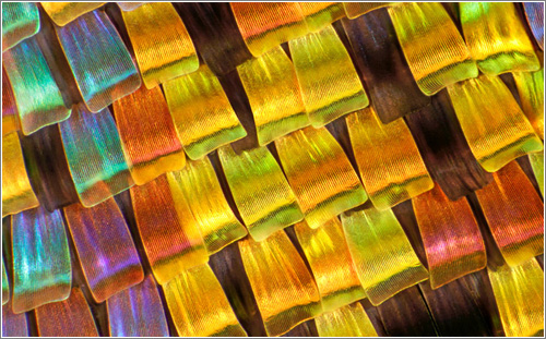 Wing scales of Urania riphaeus (Sunset moth) © Charles Krebs Photography