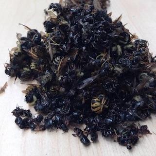 Insectos muertos recogidos tras recorrer 2 km en una carretera de Ontario, Canadá