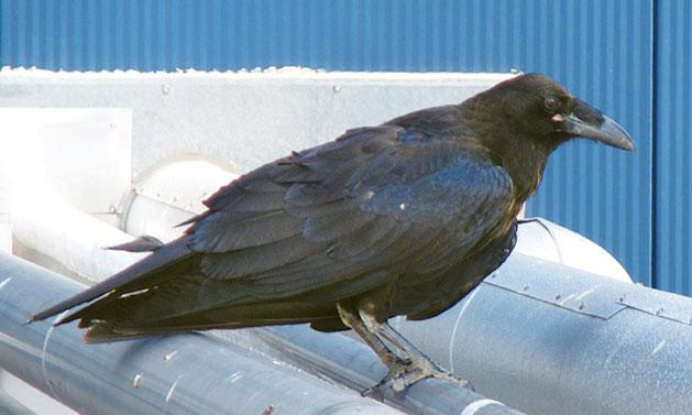 Cuervo sediento en LIGO