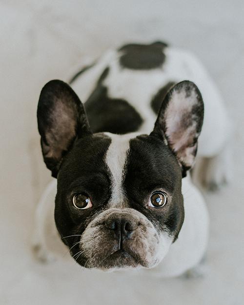 Bulldog / Angelos Michalopoulos @ Unsplash