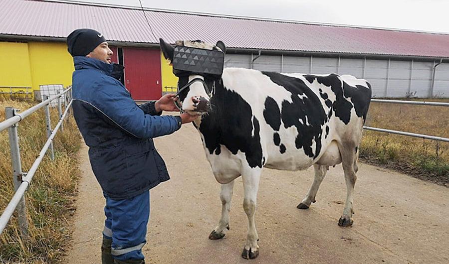 En Rusia: gafas de realidad virtual para reducir la ansiedad en las vacas lecheras / Ministerio Ruso de Agricultura y Ganadería