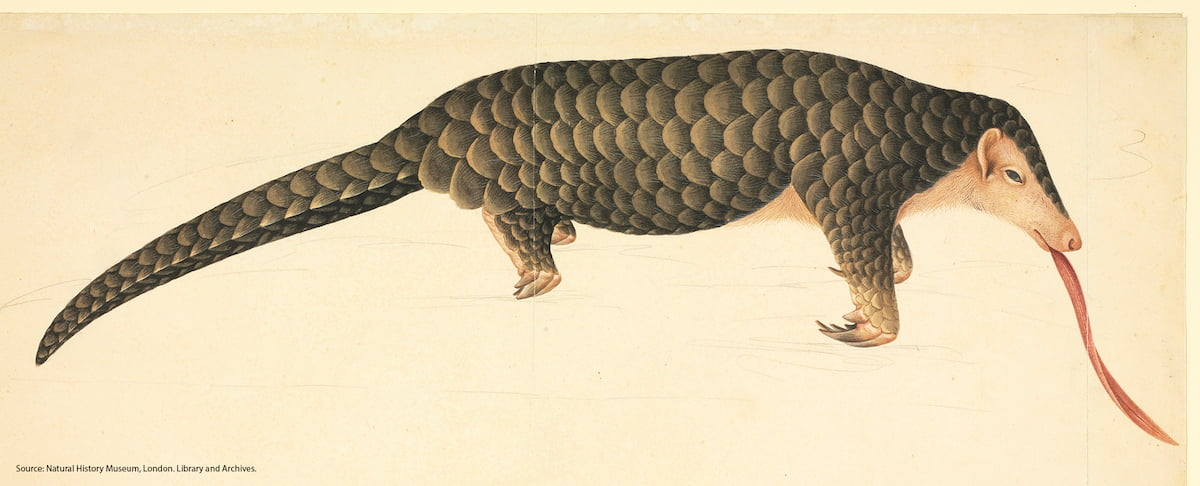 Pangolin: Natural History Museum, London
