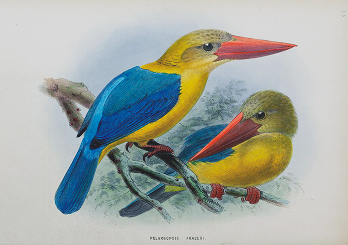 Family of kingfishers / John Gerardus Keulemans